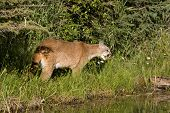 stock photo of cougar  - Cougar coming out of the underbrush for a drink from the river - JPG