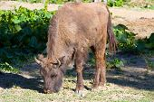 stock photo of aurochs  - Shot Of An Aurochs - JPG