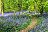 stock photo of birching  - Woodland in Springtime with a carpet of Bluebells - JPG