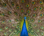 stock photo of indian peafowl  - Indian male peafowl  - JPG