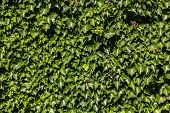 Ivy (Hedera). Wall covered with foliage of ivy. Natural green background.