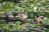 stock photo of male mallard  - Male and female mallard duck resting on a log in a swamp amidst lilly pads alongside a turtle - JPG