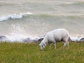 picture of dike  - Sheep eating grass on a dike in the Netherlands - JPG