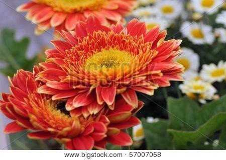 Flower of Marigold