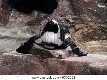 Resting Penguin