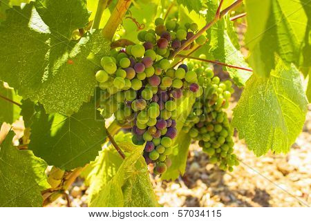 Vineyard, Muscat wine, South of France