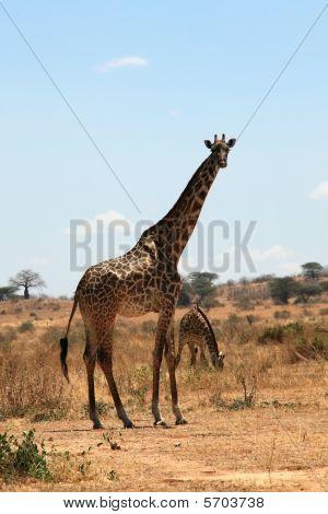 Giraffe In Plain Savanna