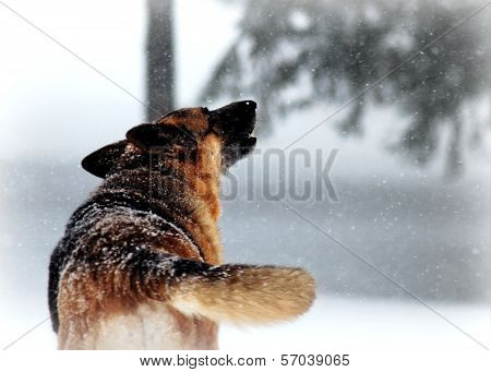 German Shepherd Dog Howling in Winter Snow