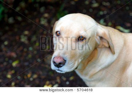 Old Labrador Friend