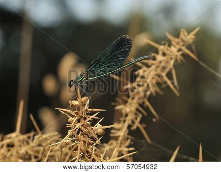 Beautiful Demoiselle on Gorse