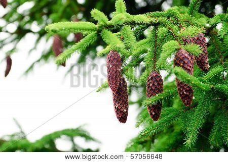 Cones On Pine