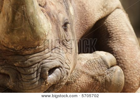 Hook-lipped Rhinoceros (diceros Bicornis)