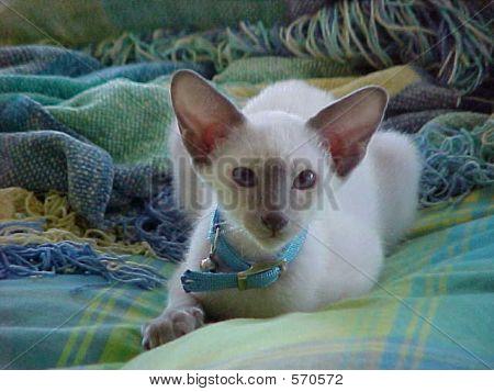 Tiberius Siamese Cat
