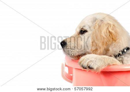 Golden Retriever In Basket