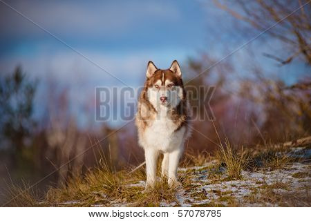 beautiful siberian husky dog