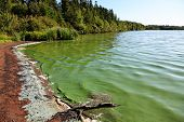 stock photo of green algae  - Lake with Algae in the water making it turn green - JPG