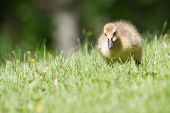 Canada Goose Gosling Walking And Eating