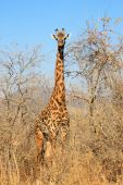 Giraffe In Bush