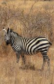 Zebra In Bush