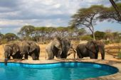 Elephants Around Swimming Pool