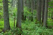 pic of alder-tree  - Old alder and spruce trees of Bialowieza Forest in summer - JPG