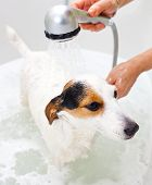 stock photo of washtub  - Jack Russell dog taking a bath in a bathtub