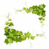 foto of vines  - Collage of vine leaves on white background - JPG
