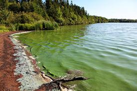 foto of green algae  - Lake with Algae in the water making it turn green - JPG