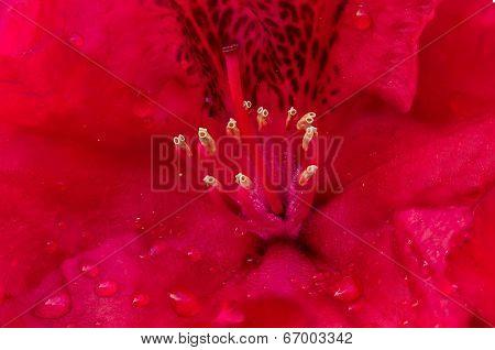 Gig Rododendro