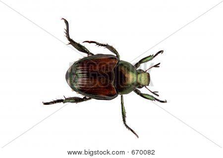 Japanese Beetle Pest - Popillia Japonica