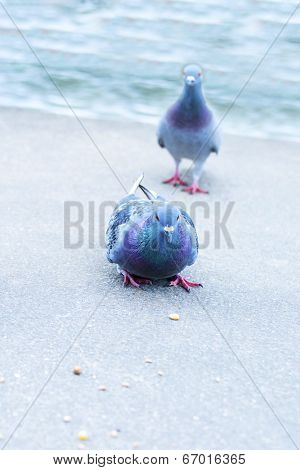 Parisian rock pigeons (Columba livia) at the edge of the Seine