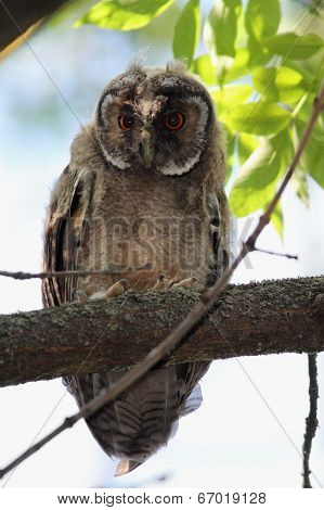 Asio Otus Baby On Branch