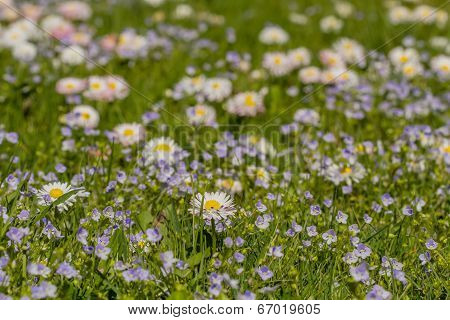 Nice Small Meadow Flowers Macro