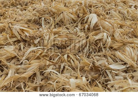 The Group Of Dried Corncobs After Harvest