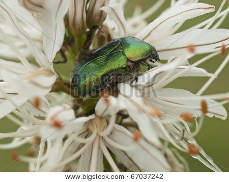 Green Bug And Lilly Flower