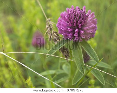 Flower Red Clover