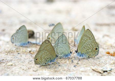 butterflies are drinking liquid ground