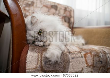 Funny Face White Persian Cat On Chair