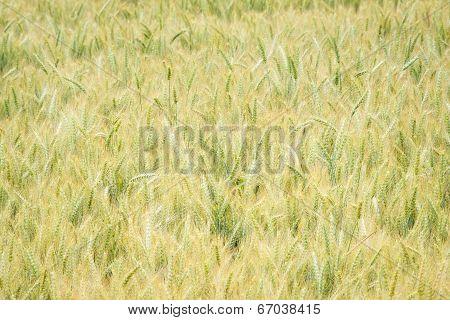 Wheat Field In Oregon