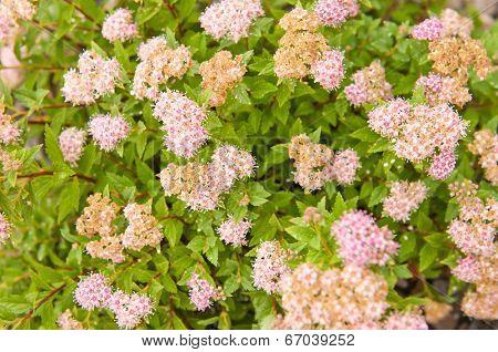 flowers of Spiraea japonica Japanese Dwarf