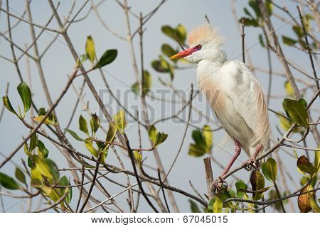 A Cattle Egret (bubulcus Ibis) In Breeding Plumage Perched In The Mangroves