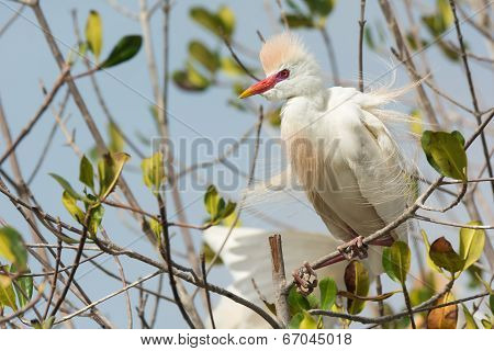 A Cattle Egret (bubulcus Ibis) In Breeding Plumage With Erect Feathers