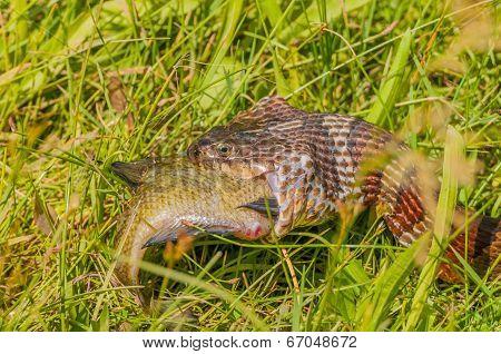 Water Snake Eating Prey