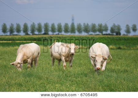 White Bulls In A Green Field