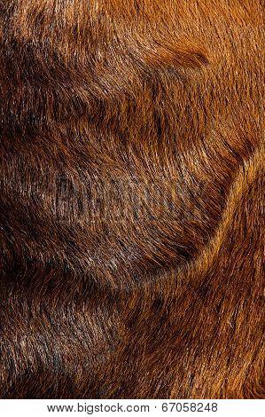 anglo nubain nanny goat wool background