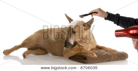 Bull Terrier Getting Groomed
