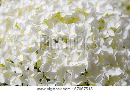Beautiful White Hydrangea Flowers Annabelle In Bloom
