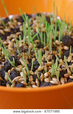 Wheat germination