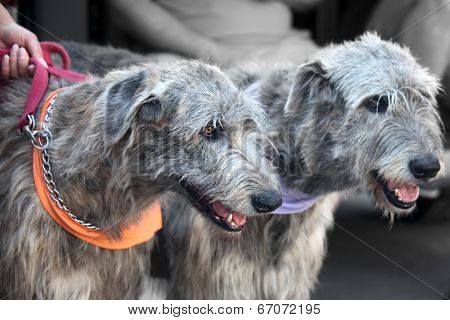Two Irish Wolfhounds