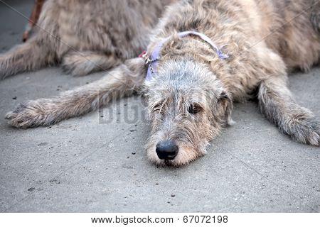 Irish Wolfhound resting